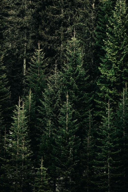 dense pine trees on the side of a steep mountain
