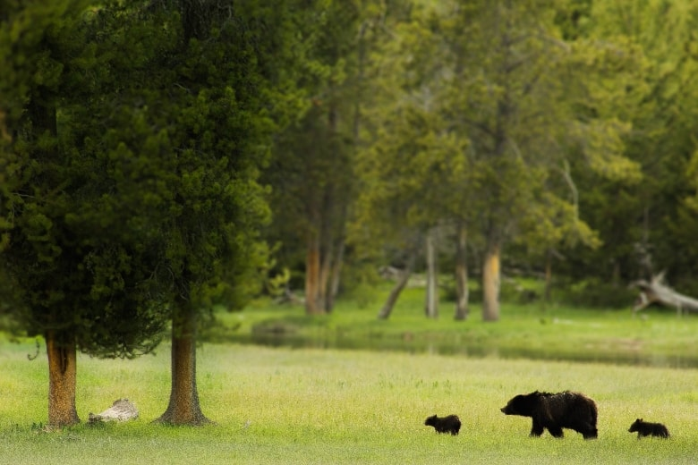 mother bear walking through field with cubs