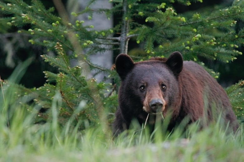black bear standing in front of pine trees