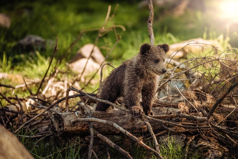 young cub on pile of branches watching