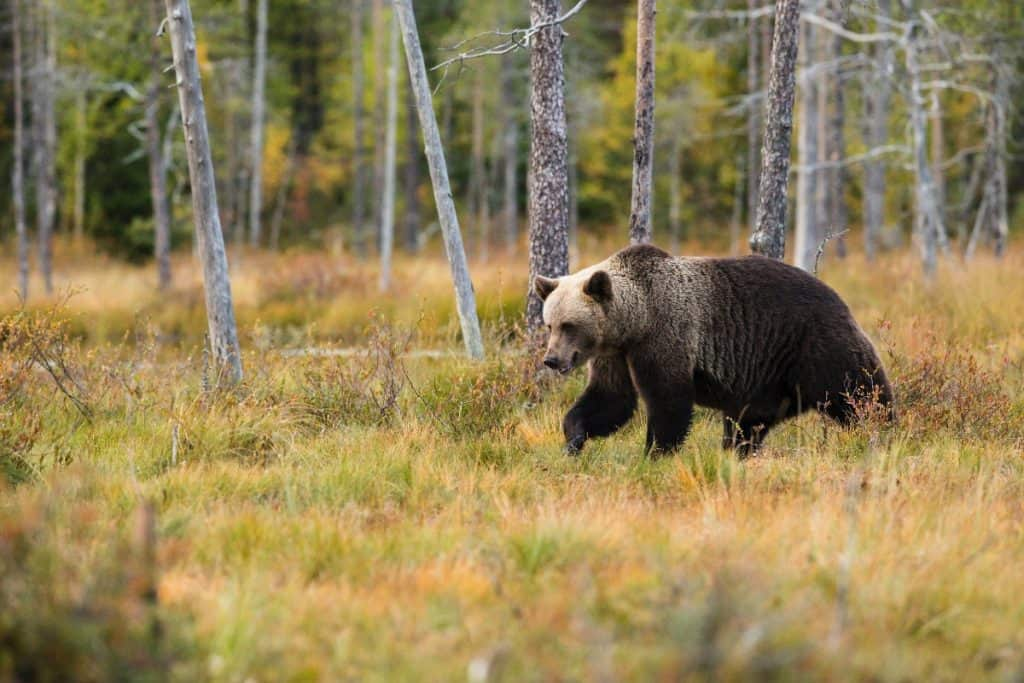 Grizzly Bear walking through open woods and tall grass